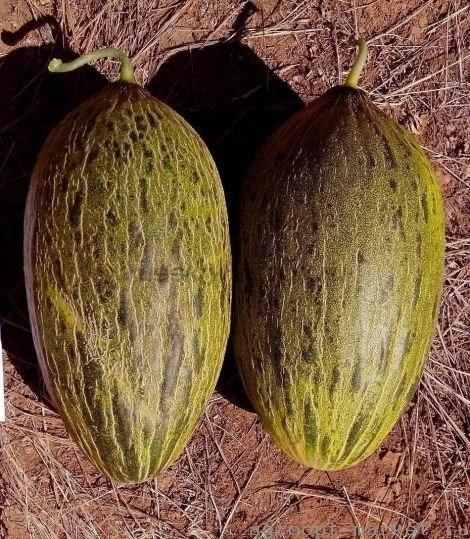 Сисапо F1, семена дыни (Enza Zaden / Энза Заден) - фото 6740