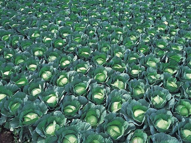 Грин Рич F1, семена капусты белокочанной (Takii Seeds / Таки Сидс) - фото 6759