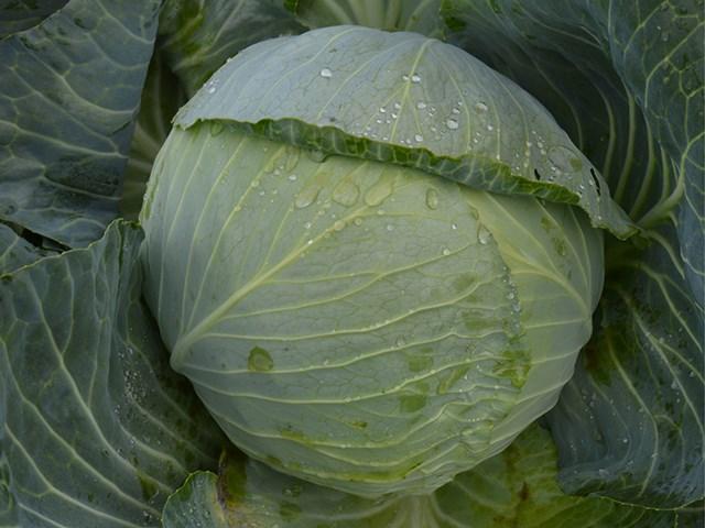 Аланек F1, семена капусты белокочанной (Enza Zaden / Энза Заден) - фото 6760