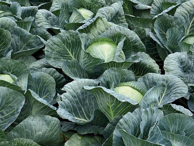 Структа F1, семена капусты белокочанной (Takii Seeds / Таки Сидс) - фото 6771