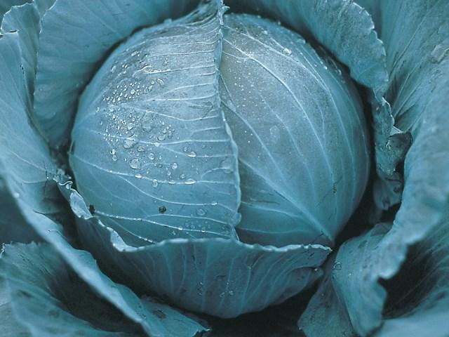 Претино F1, семена капусты краснокочанной (Takii Seeds / Таки Сидс) - фото 6777