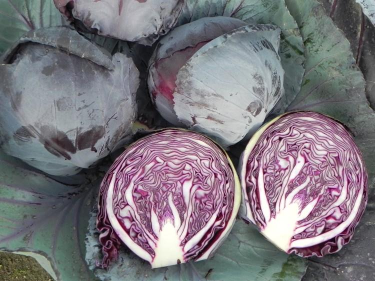 Руби Перфекшн F1, семена капусты краснокочанной (Takii Seeds / Таки Сидс) - фото 6779