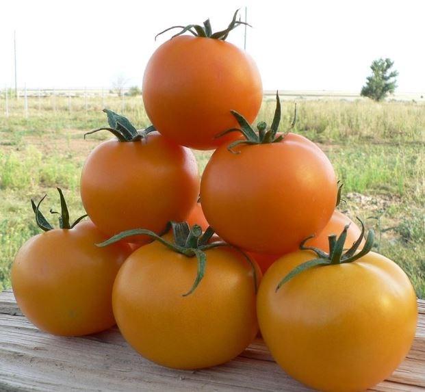 TI-169 F1, семена томата индетерминантного (Takii Seeds / Таки Сидс) - фото 6780