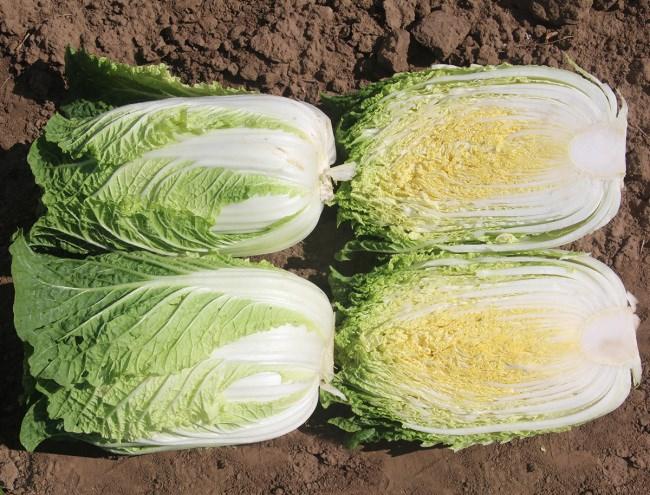 Грин Рокет F1, семена капусты пекинской (Takii Seeds / Таки Сидс) - фото 6787
