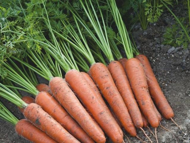 Аурантина F1, семена моркови (Takii Seeds / Таки Сидс) - фото 6801