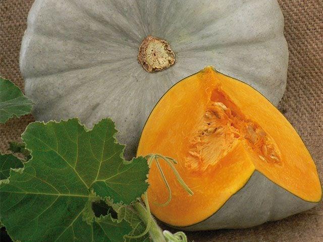 Сампсон F1, семена тыквы (Enza Zaden / Энза Заден) - фото 6802