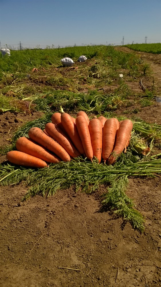 Проминанс F1, семена моркови (Takii Seeds / Таки Сидс) - фото 6813