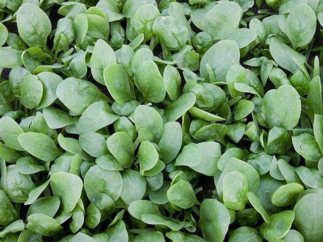 Корвер F1, семена шпината (Enza Zaden / Энза Заден) - фото 6829