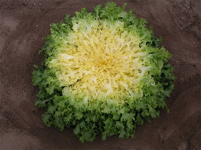 Бекеле, семена эндвия (Enza Zaden / Энза Заден) - фото 6832