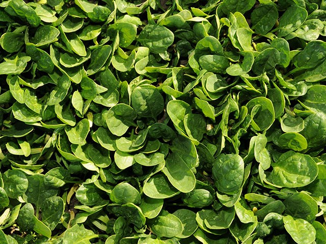 Шелби F1, семена шпината (Enza Zaden / Энза Заден) - фото 6833