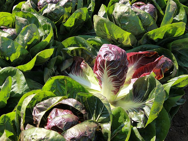 Джиове F1, семена эндвия (Enza Zaden / Энза Заден) - фото 6842