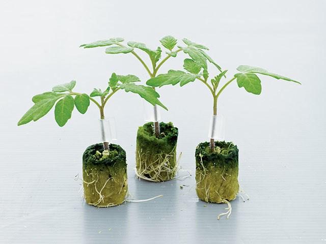 Тетсукабуто F1, семена подвоя (Takii Seeds / Таки Сидс) - фото 6843