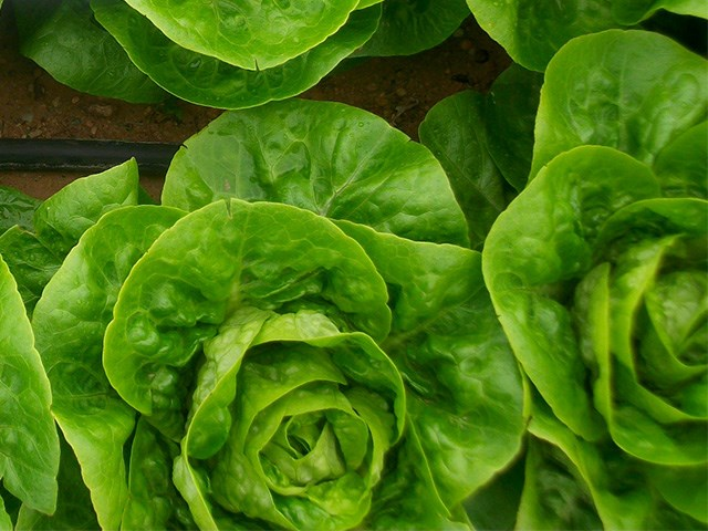Альбара, семена салата ромэн (Enza Zaden / Энза Заден) - фото 6845