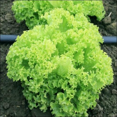 Гранд Рапидс Перл Джем, семена салата батавия (Enza Zaden / Энза Заден) - фото 6846