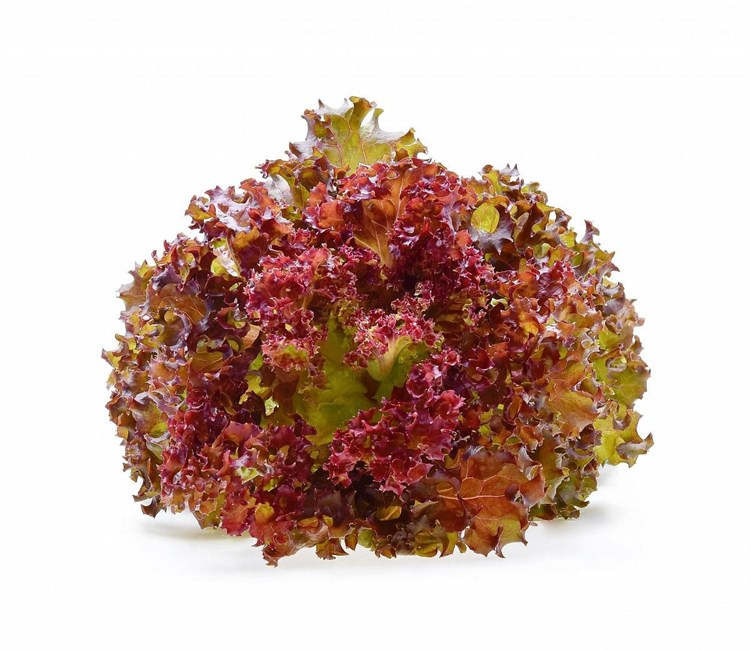 Диаблотин, семена салата батавия (Enza Zaden / Энза Заден) - фото 6848