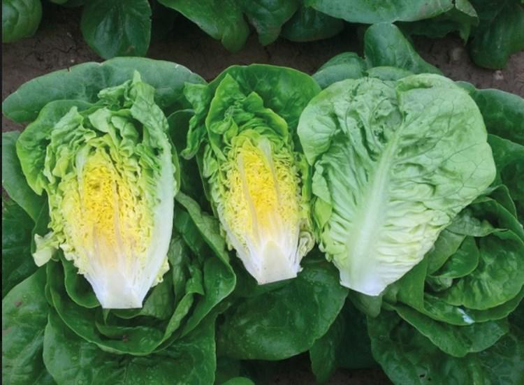 Алмадраба, семена салата ромэн (Enza Zaden / Энза Заден) - фото 6850