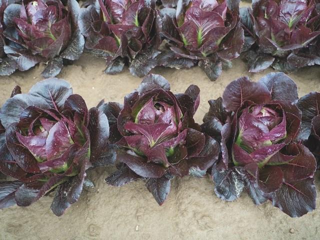 Батлстар, семена салата ромэн (Enza Zaden / Энза Заден) - фото 6851