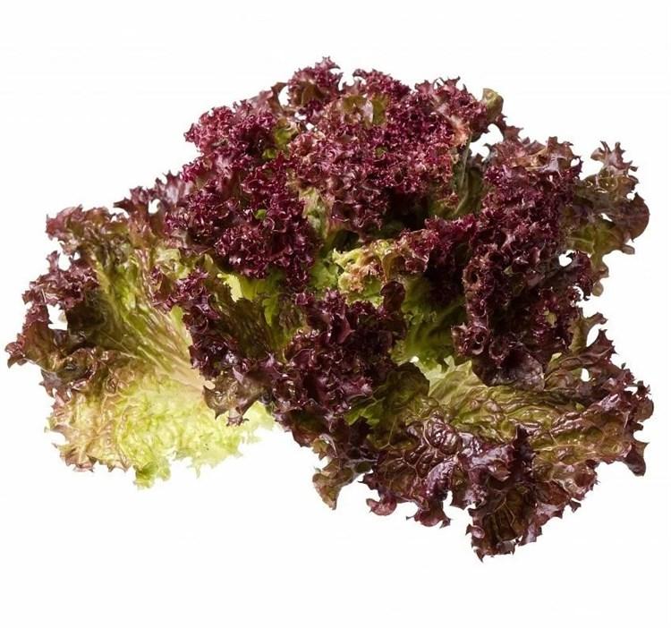 Тамариндо, семена салата батавия (Enza Zaden / Энза Заден) - фото 6853