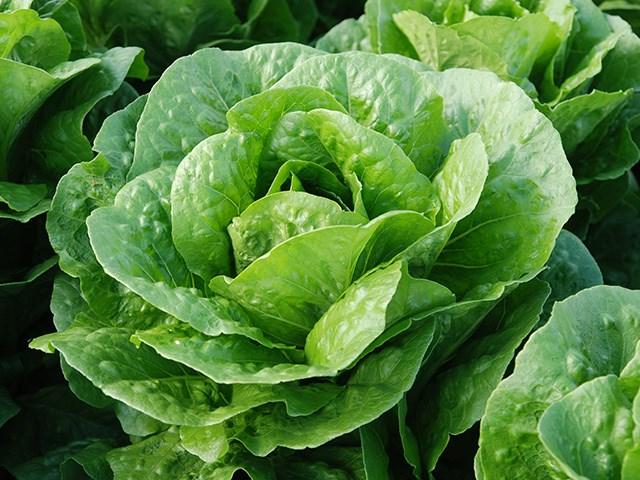 Бацио, семена салата ромэн (Enza Zaden / Энза Заден) - фото 6854
