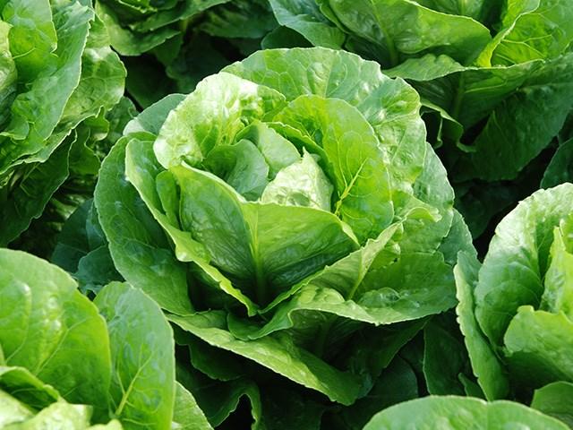 Корбана, семена салата ромэн (Enza Zaden / Энза Заден) - фото 6855