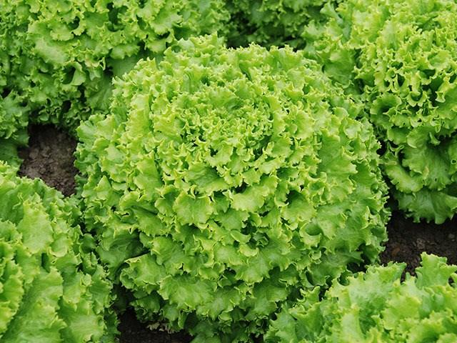 Эстони, семена салата батавия (Enza Zaden / Энза Заден) - фото 6856