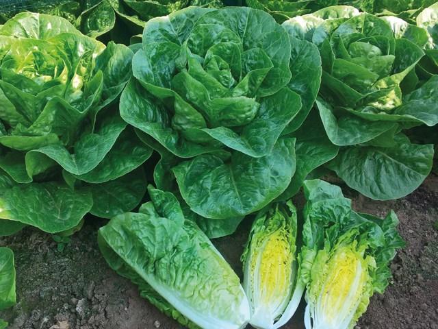 Ксиомара, семена салата ромэн (Enza Zaden / Энза Заден) - фото 6858