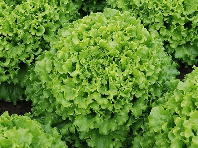 Кайпира, семена салата батавия (Enza Zaden / Энза Заден) - фото 6859