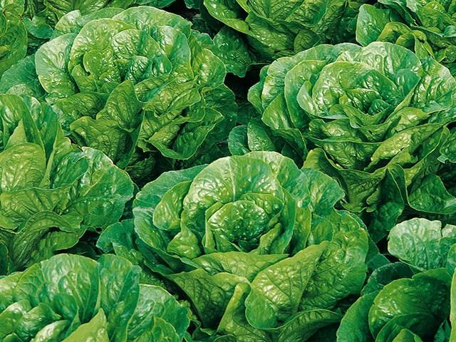 Пиноккио, семена салата ромэн (Enza Zaden / Энза Заден) - фото 6861