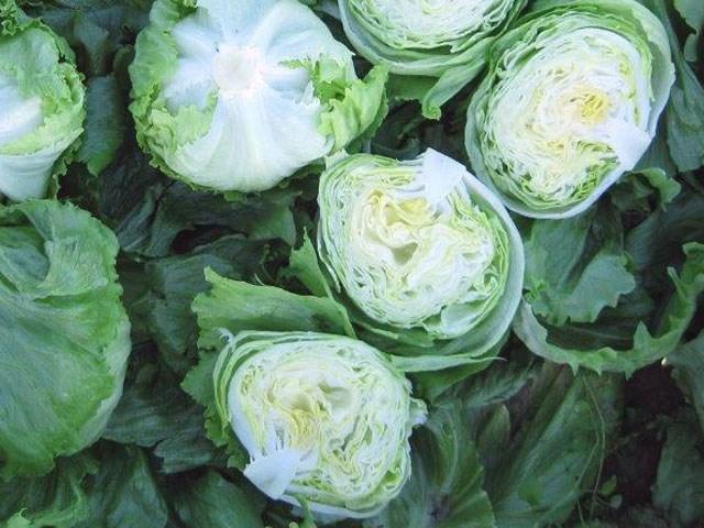 Эдуардо, семена салата айсберг (Enza Zaden / Энза Заден) - фото 6862