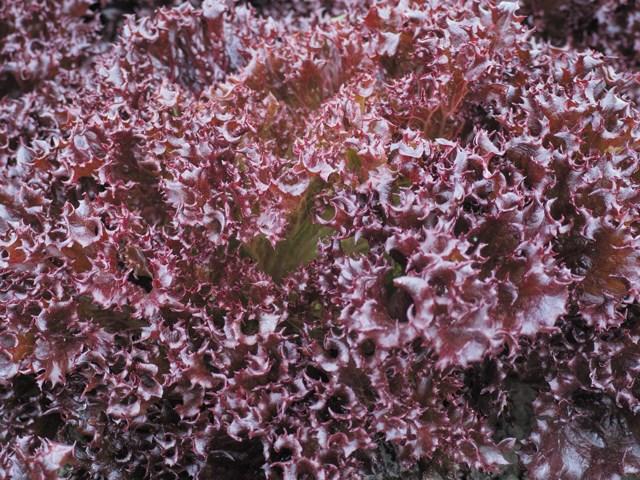 Азирка, семена салата лолла роса (Enza Zaden / Энза Заден) - фото 6873