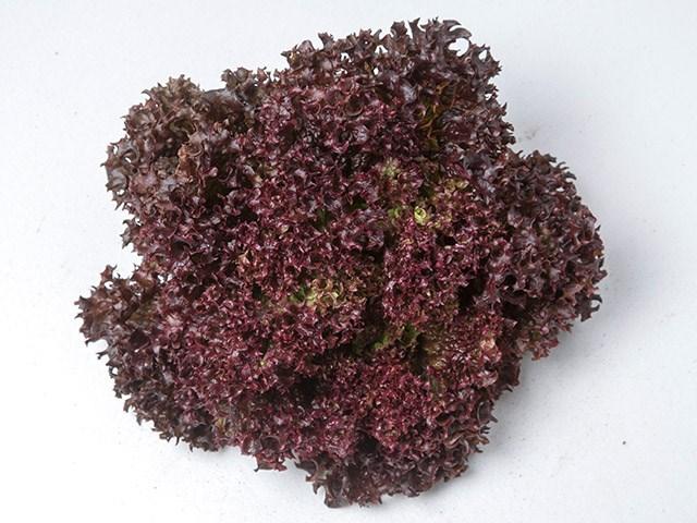 Леа, семена салата лолла роса (Enza Zaden / Энза Заден) - фото 6875