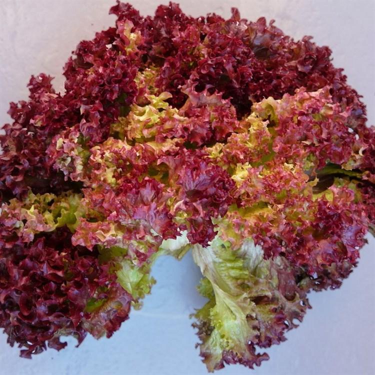 Редло, семена салата лолла роса (Enza Zaden / Энза Заден) - фото 6880