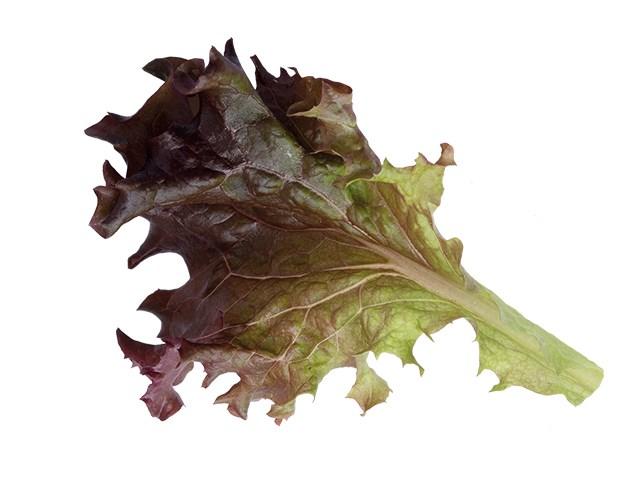 Росало, семена салата лолла роса (Enza Zaden / Энза Заден) - фото 6882