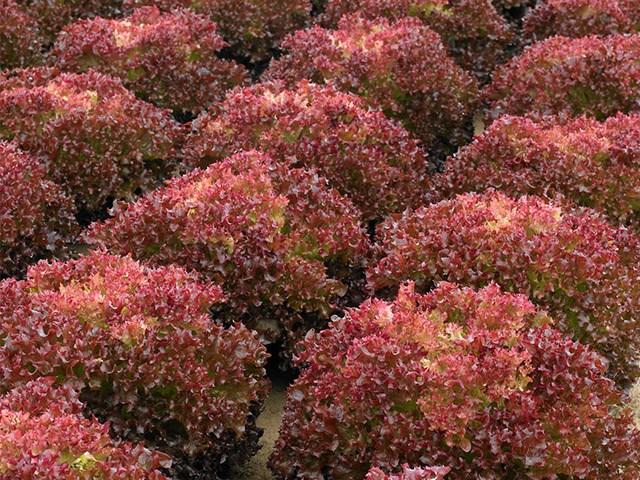 Туска, семена салата лолла роса (Enza Zaden / Энза Заден) - фото 6884
