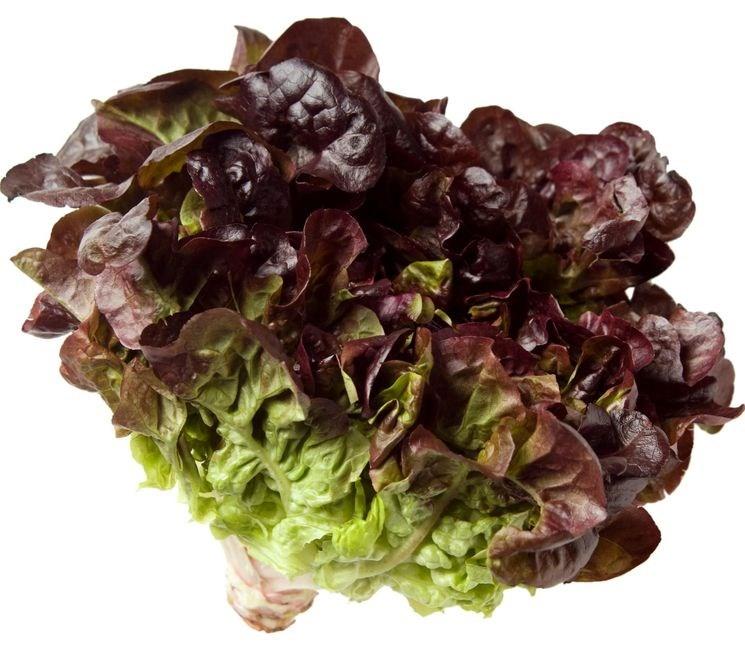 Эзра, семена салата изи лиф (Enza Zaden / Энза Заден) - фото 6895