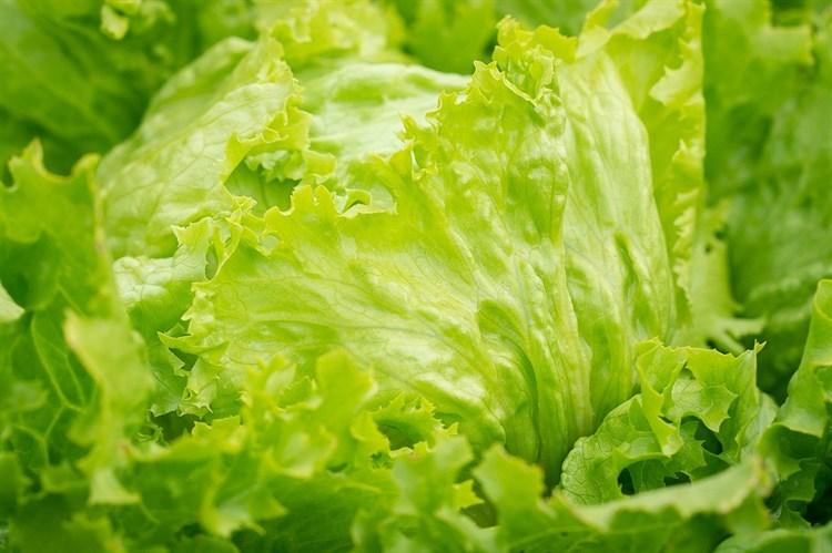 Байфилд, семена салата айсберг (Enza Zaden / Энза Заден) - фото 6898