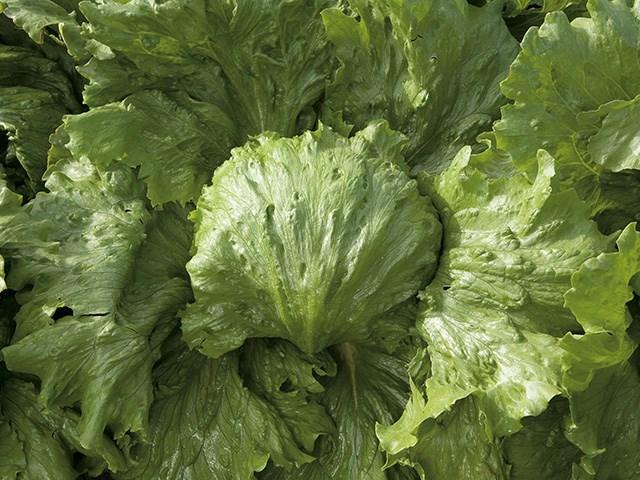 Саула, семена салата айсберг (Enza Zaden / Энза Заден) - фото 6902