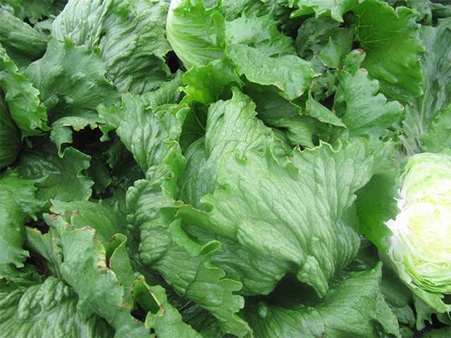 Фарито, семена салата айсберг (Enza Zaden / Энза Заден) - фото 6903