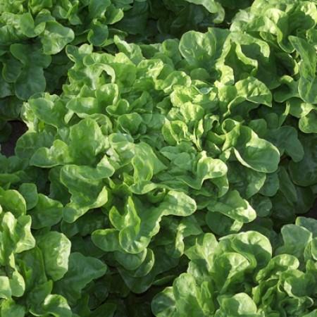 Крилда, семена салата дуболистного (Rijk Zwaan / Райк Цваан) - фото 6971