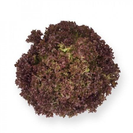 Энтони, семена салата лолла роса (Rijk Zwaan / Райк Цваан) - фото 7002