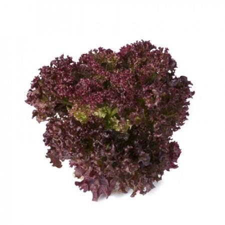 Сатин, семена салата лолла роса (Rijk Zwaan / Райк Цваан) - фото 7009