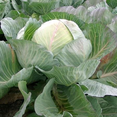 Сельма F1, семена капусты белокочанной (Rijk Zwaan / Райк Цваан) - фото 7216