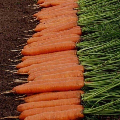 Монанта, семена моркови (Rijk Zwaan / Райк Цваан) - фото 7329