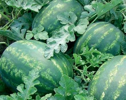 Колосео F1, семена арбуза (Seminis / Семинис) - фото 7459