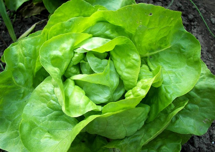 Тассик, семена салата кочанного маслянистого (Seminis / Семинис) - фото 7475