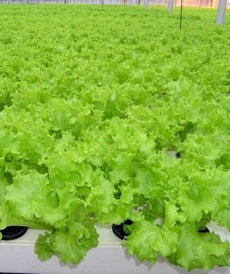 Хьюджин, семена салата листового (Seminis / Семинис) - фото 7476