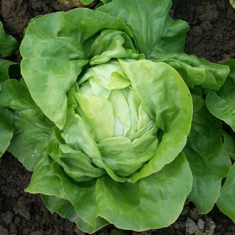 Картагонова, семена салата кочанного маслянистого (Seminis / Семинис) - фото 7478