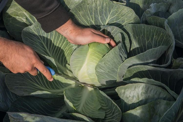 Калуга F1, семена капусты белокочанной (Bejo / Бейо) - фото 7483