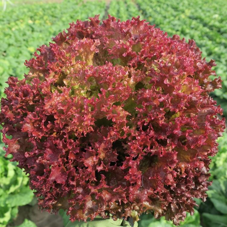 Солос, семена салата лолло росса (Bejo / Бейо) - фото 7486