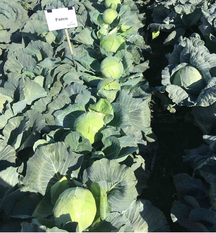 Ферро F1, семена капусты белокочанной (Seminis / Семинис) - фото 7489